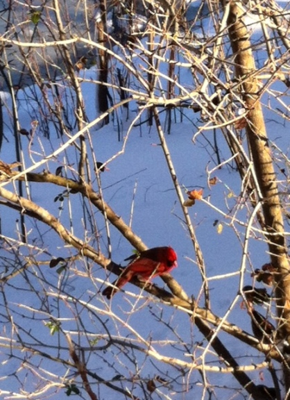 Cardinal Study in Central Park
